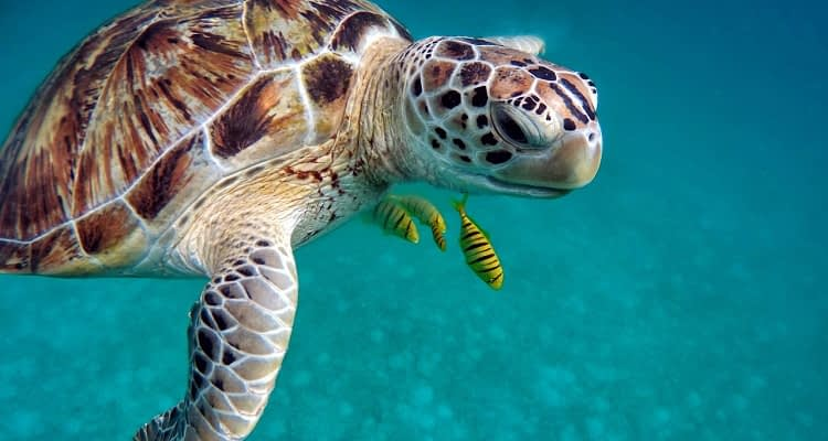 Turtle with fish