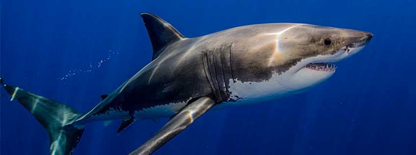 Facts about Great White Sharks