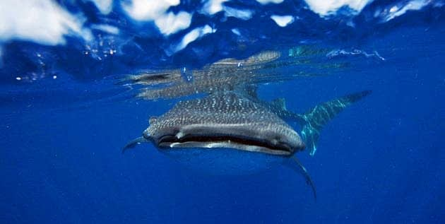Whale Shark facts