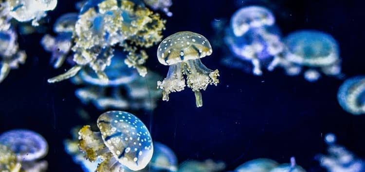 What Do Pet Jellyfish Eat?