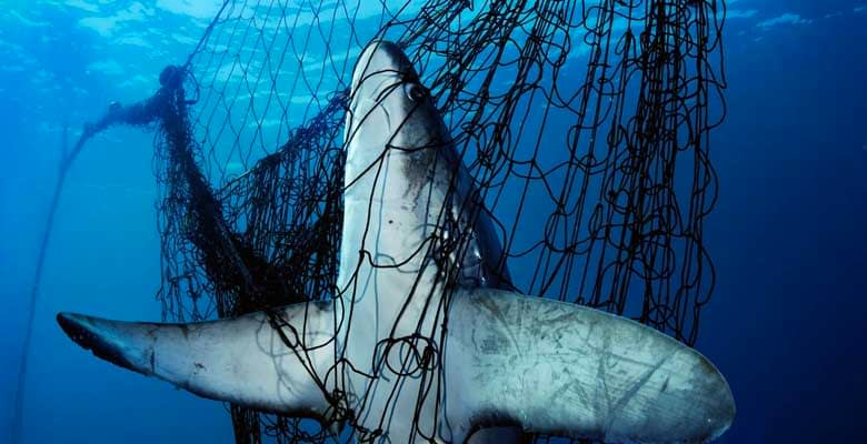 15 Most Endangered Sharks in the World
