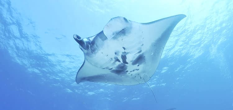 How Big are Manta Rays
