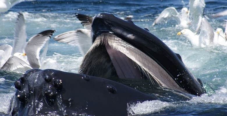 Baleen toothed Whale
