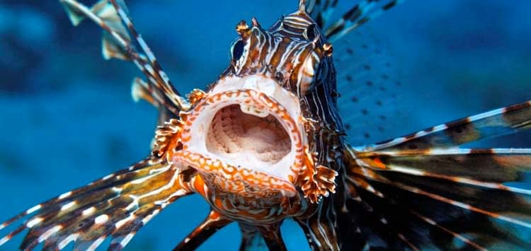 How to Treat Scorpionfish, Lionfish and Stonefish Envenomation