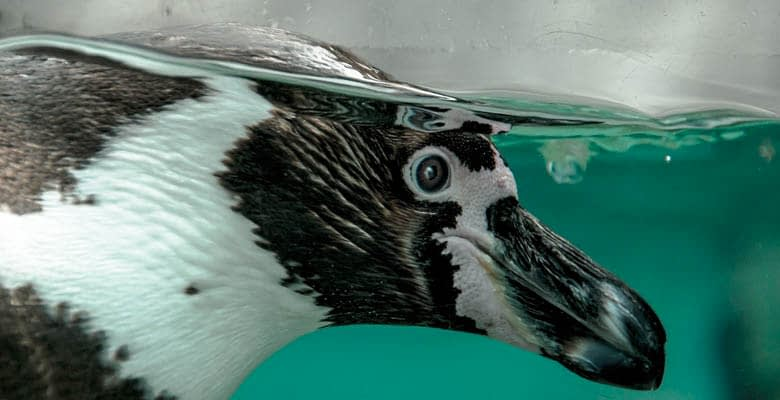 Penguins Drinking Water