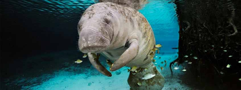 Save the manatess