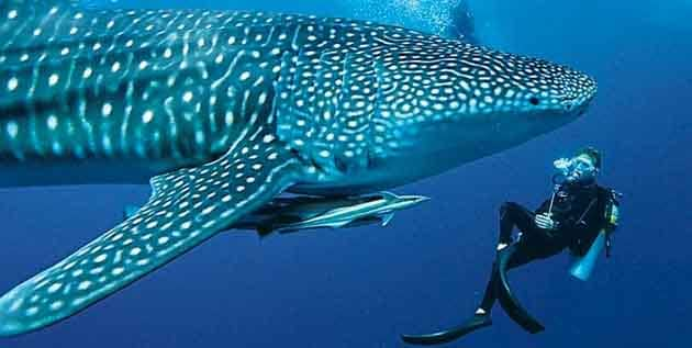 Whale Shark swimming with diver