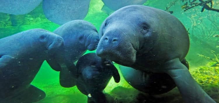 What Are the Species of Manatee