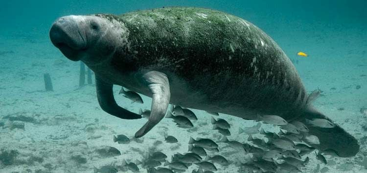 How Can You Help Protect Manatees